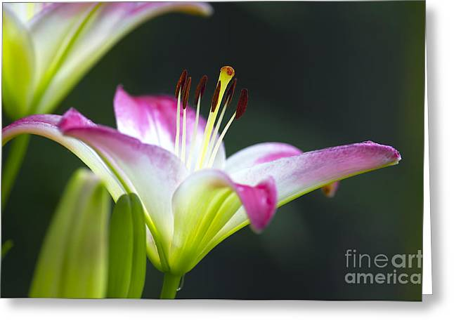 Hybrid Lily Greeting Cards - Asiatic Lily Lollipop 2 Greeting Card by Sharon  Talson