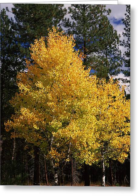 Crater Lake National Park Greeting Cards - Aspen And Ponderosa Pine Trees Greeting Card by Panoramic Images