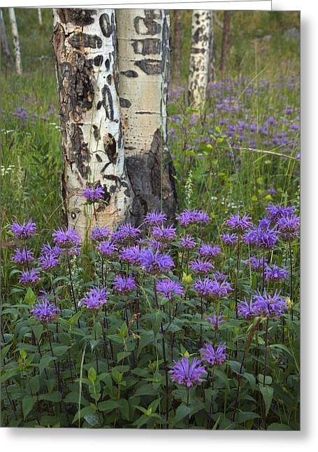 Horsemint Greeting Cards - Aspen and Wildflowers Greeting Card by Gary Langley