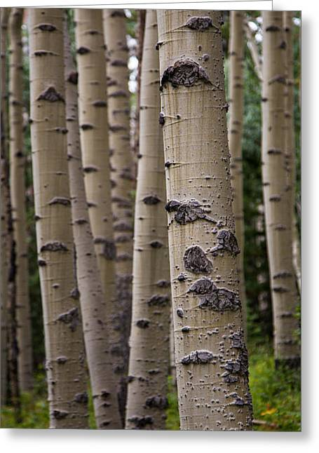 Quaking Aspen Greeting Cards - Aspen Forest Greeting Card by Matthew Parks