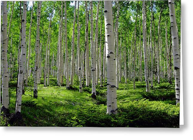 Sunlit Greeting Cards - Aspen Glen Greeting Card by The Forests Edge Photography - Diane Sandoval