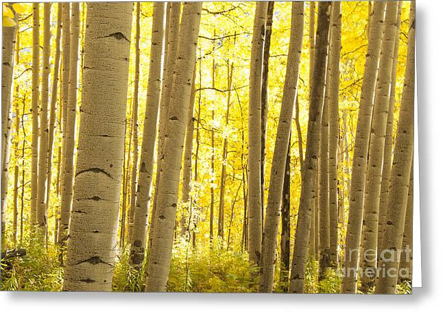 Aspen Grove Greeting Cards - Aspen Grove in Autumn Greeting Card by Juli Scalzi