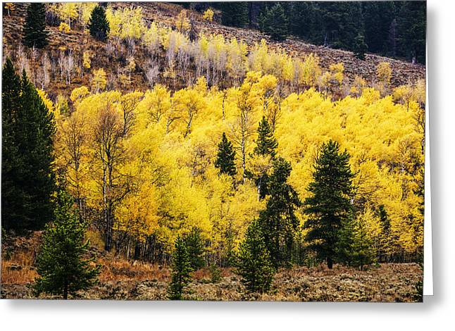 Aspens In Autumn Leaves Greeting Cards - Aspen Grove in Grand Teton National Park Greeting Card by Vishwanath Bhat