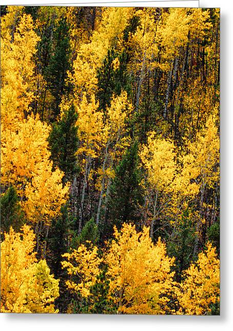 Turning Of The Leaves Greeting Cards - Aspen Grove Greeting Card by Juli Ellen