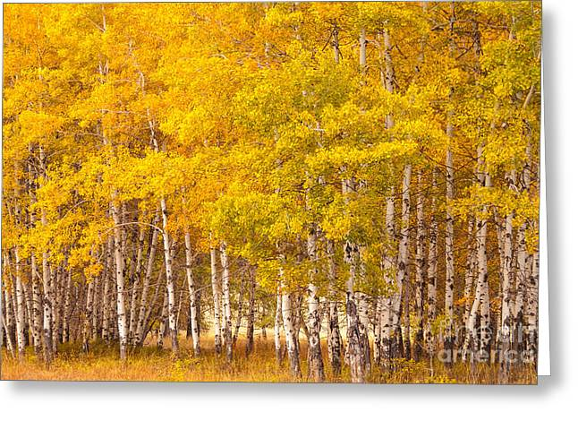 Methow Greeting Cards - Aspen Grove Greeting Card by Lidija Kamansky