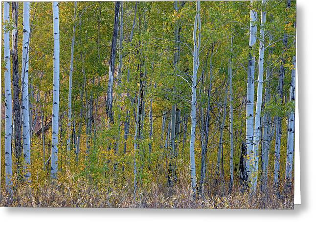 Aspen In Autumn Grand Teton National Greeting Card by Tom Norring