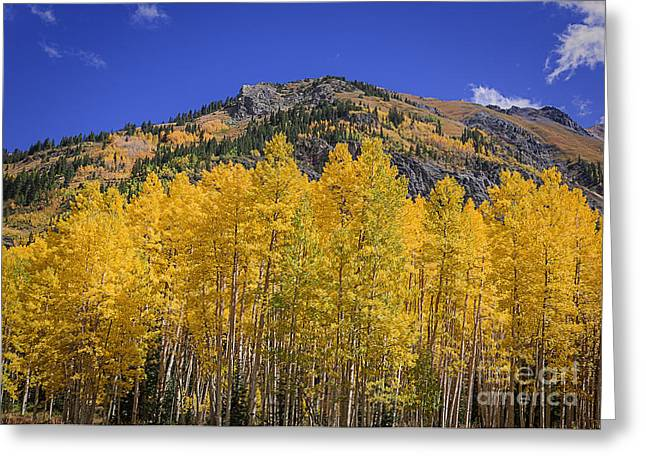 Scenic Drive Greeting Cards - Aspen in the Autumn Greeting Card by Janice Rae Pariza