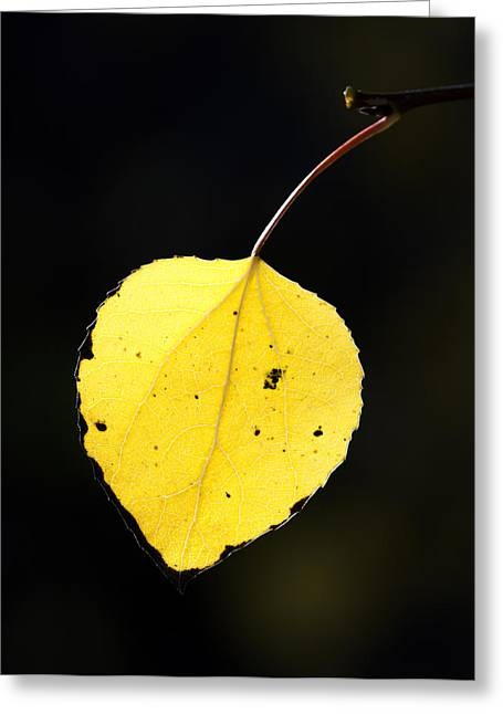 Aspens In Fall Greeting Cards - Aspen Leaf  in Fall Greeting Card by Gary Langley