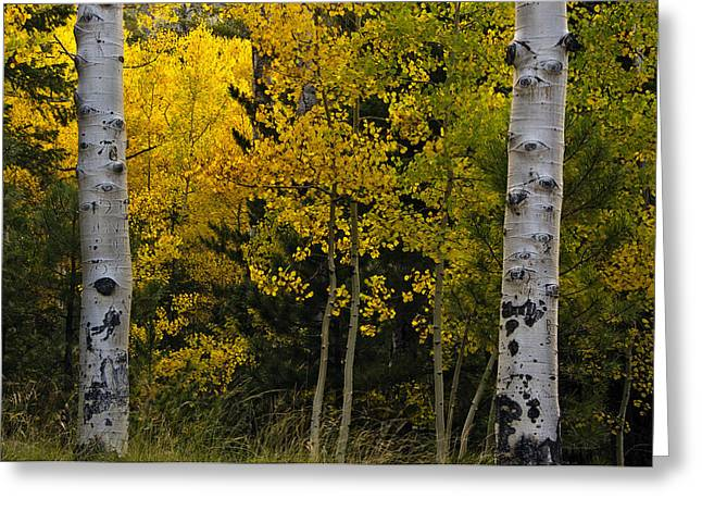 Turning Leaves Photographs Greeting Cards - Aspen Light Greeting Card by Dave Dilli