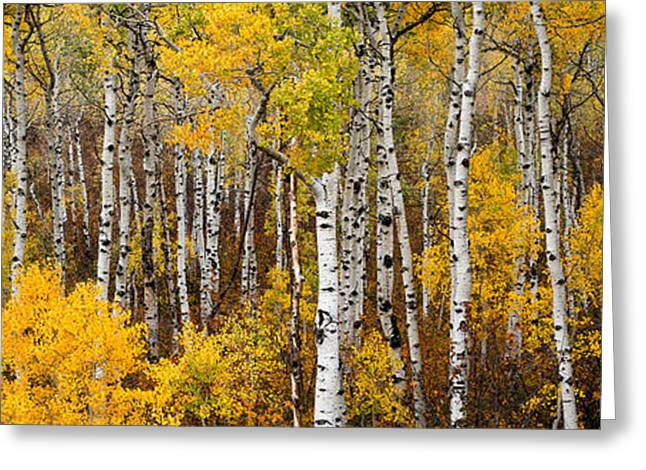 Gary Peterson Greeting Cards - Aspen Pano Greeting Card by Gary Peterson
