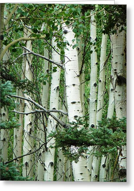 Gia Marie Houck Greeting Cards - Aspen Stand Greeting Card by Gia Marie Houck