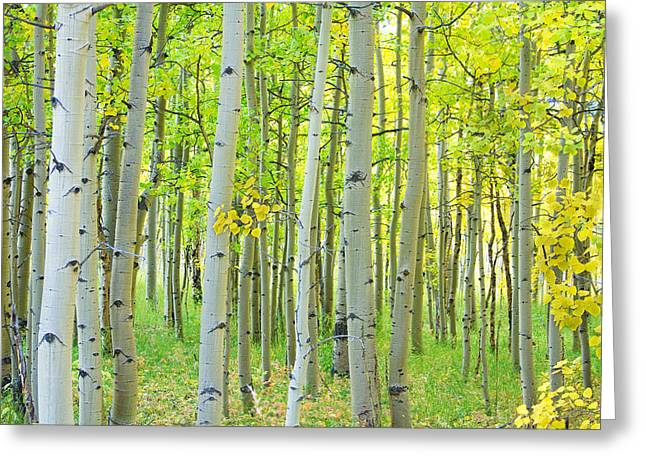 Aspen Tree Forest Autumn Time  Greeting Card by James BO  Insogna