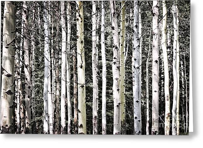 Beautiful Scenery Greeting Cards - Aspen tree trunks Greeting Card by Elena Elisseeva