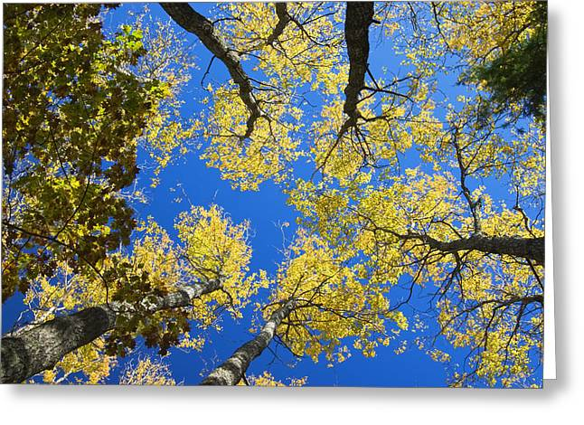 Colorful Bark Greeting Cards - Aspen Trees And Blue Sky Greeting Card by Keith Webber Jr