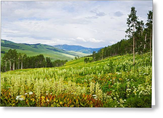 Wildflower Photography Greeting Cards - Aspen Trees And Wildflowers Greeting Card by Panoramic Images