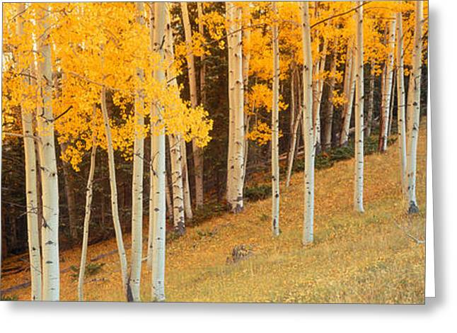 Birch Tree Greeting Cards - Aspen Trees In A Field, Ouray County Greeting Card by Panoramic Images