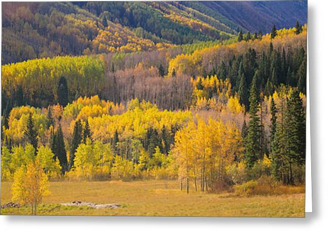 Fall Grass Greeting Cards - Aspen Trees In A Field, Telluride, San Greeting Card by Panoramic Images
