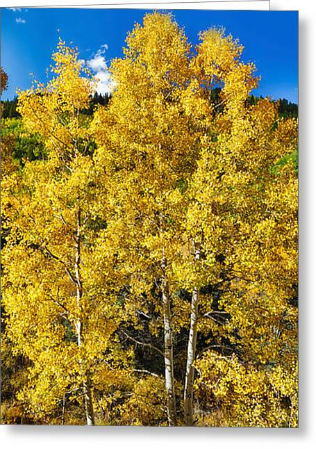 Autumn Colors Greeting Cards - Aspen Trees In A Forest Along Ophir Greeting Card by Panoramic Images