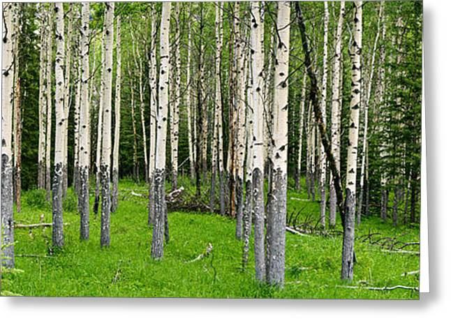Aspen Grove Greeting Cards - Aspen Trees In A Forest, Banff, Banff Greeting Card by Panoramic Images