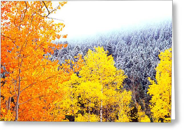 Overcast Day Greeting Cards - Aspen Trees In A Forest, Blacktail Greeting Card by Panoramic Images