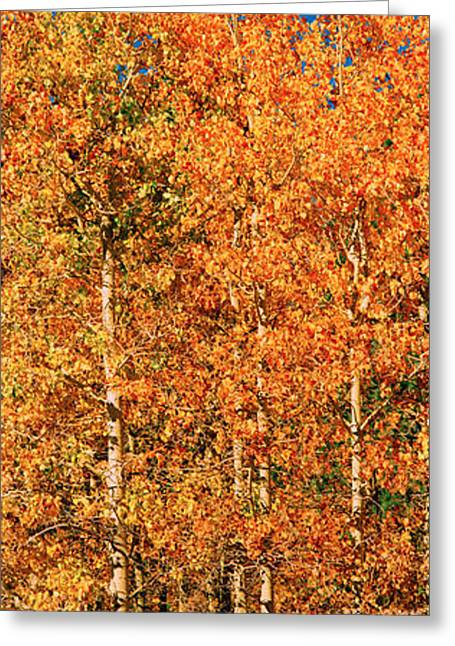 Fall Grass Greeting Cards - Aspen Trees In A Forest, Lee Vining Greeting Card by Panoramic Images