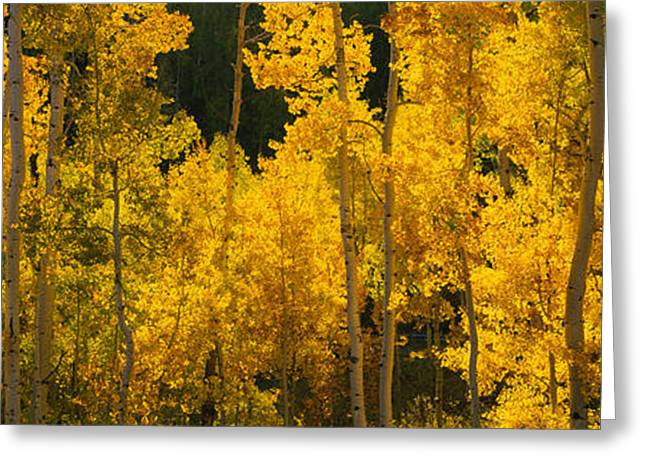 Fall Scenes Greeting Cards - Aspen Trees In A Forest, Telluride, San Greeting Card by Panoramic Images