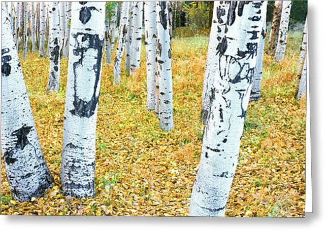 Aspen Trees In A Grove, Hart Prairie Greeting Card by Panoramic Images