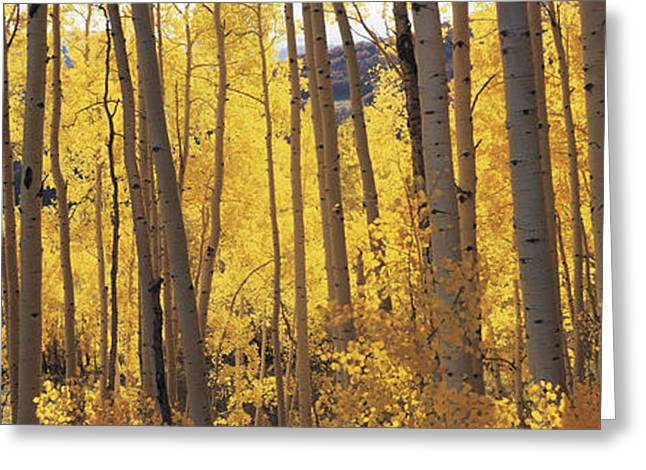 Non Urban Scene Greeting Cards - Aspen Trees In Autumn, Colorado, Usa Greeting Card by Panoramic Images