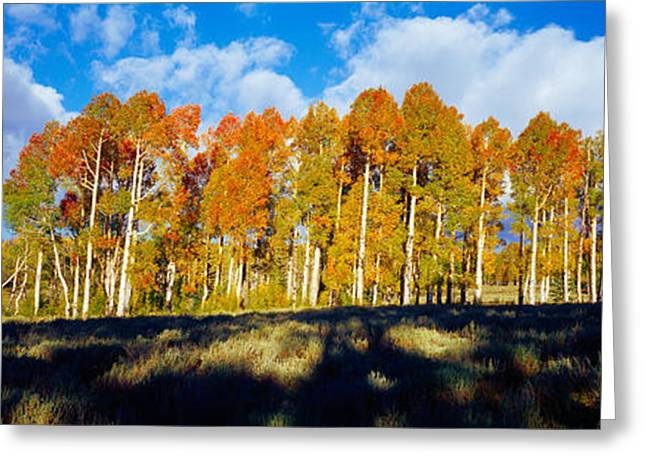 Dixie Greeting Cards - Aspen Trees In Autumn, Dixie National Greeting Card by Panoramic Images