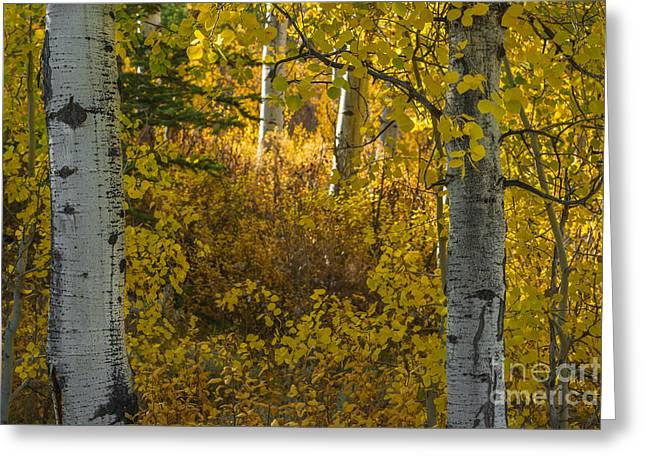Aspens In Autumn Leaves Greeting Cards - Aspen trees in autumn in Grand Teton NP Greeting Card by Vishwanath Bhat