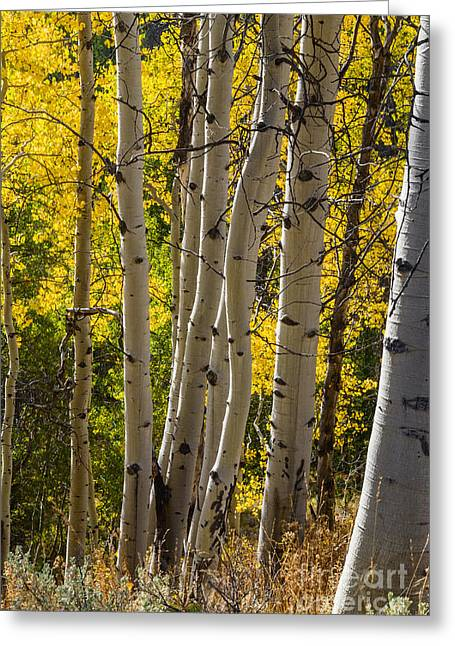 Aspens In Autumn Leaves Greeting Cards - Aspen trees in autumn in Stanley Idaho Greeting Card by Vishwanath Bhat