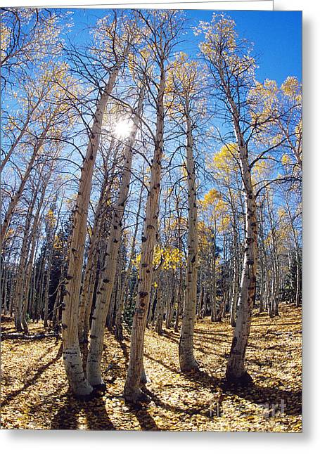 Quaking Aspen Greeting Cards - Aspen Trees In The Sun Greeting Card by George D. Lepp