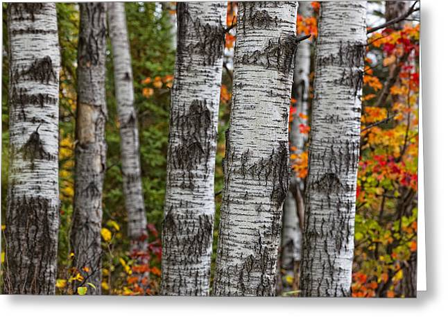 Aspen Trees Surrounded By Colourful Greeting Card by Robert Postma