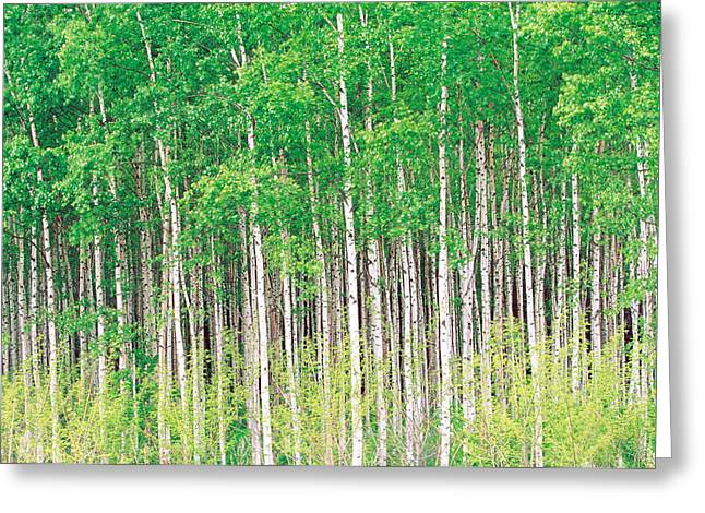 Woodland Scenes Greeting Cards - Aspen Trees, View From Below Greeting Card by Panoramic Images