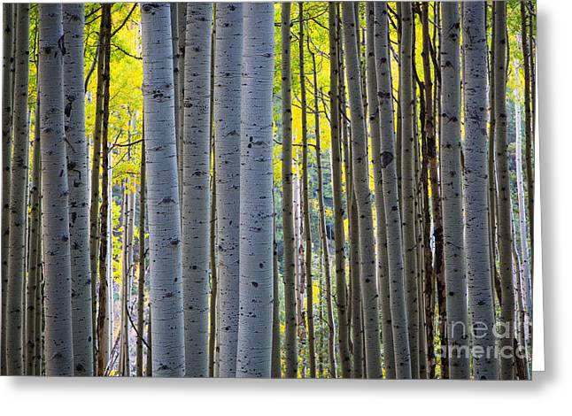 Colorful Bark Greeting Cards - Aspen Trunks Greeting Card by Inge Johnsson