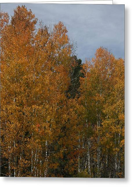 Snowbowl Greeting Cards - Aspens Glowing Greeting Card by Grant Washburn