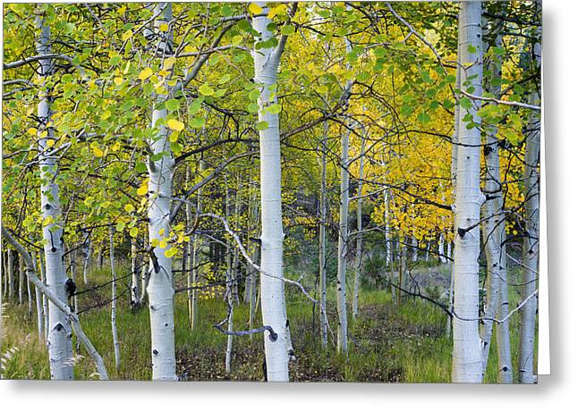 Recently Sold -  - Fall Grass Greeting Cards - Aspens In Autumn 6 - Santa Fe National Forest New Mexico Greeting Card by Brian Harig