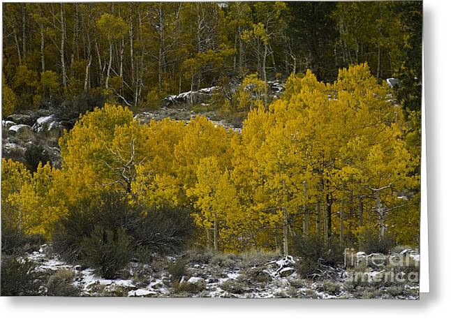 Quaking Aspen Greeting Cards - Aspens In Snow Greeting Card by John Shaw
