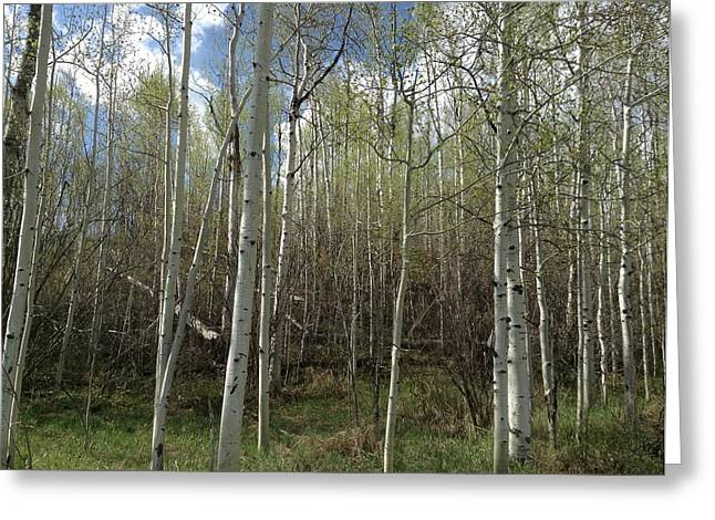 Aspens in the Springtime Greeting Card by Shawn Hughes