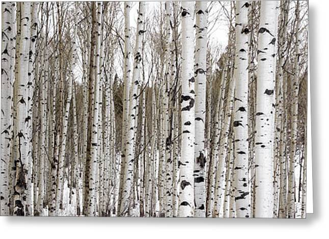 Tall Trees Greeting Cards - Aspens In Winter Panorama - Colorado Greeting Card by Brian Harig