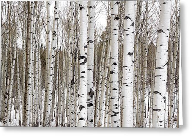 Snow White Greeting Cards - Aspens In Winter Panorama - Colorado Greeting Card by Brian Harig