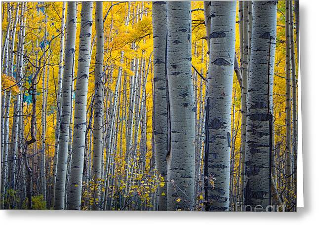 Colorful Bark Greeting Cards - Aspens Greeting Card by Inge Johnsson