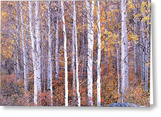 Yellow Leaves Greeting Cards - Aspens  Greeting Card by Steve Munch