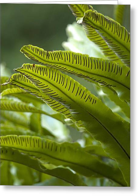 Harts Greeting Cards - Asplenium scolopendrium Greeting Card by Science Photo Library