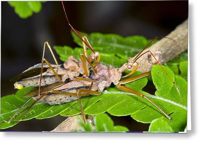 Sacha Greeting Cards - Assassin bugs mating, Ecuador Greeting Card by Science Photo Library