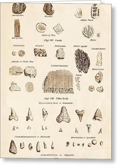 Shark Fossil Teeth Greeting Cards - Assorted Fossils Greeting Card by David Parker