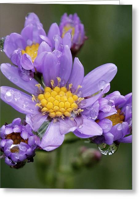 Michael D Friedman Greeting Cards - Aster Drops Greeting Card by Michael Friedman