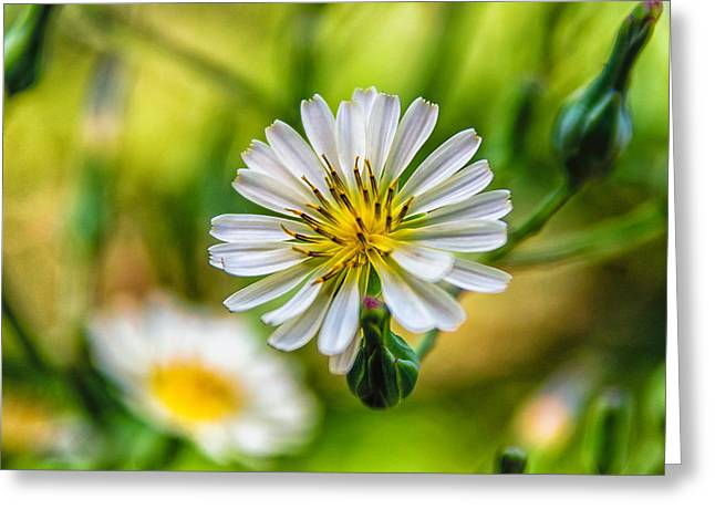 Aster Pyrography Greeting Cards - Aster Greeting Card by G-Ten Photography