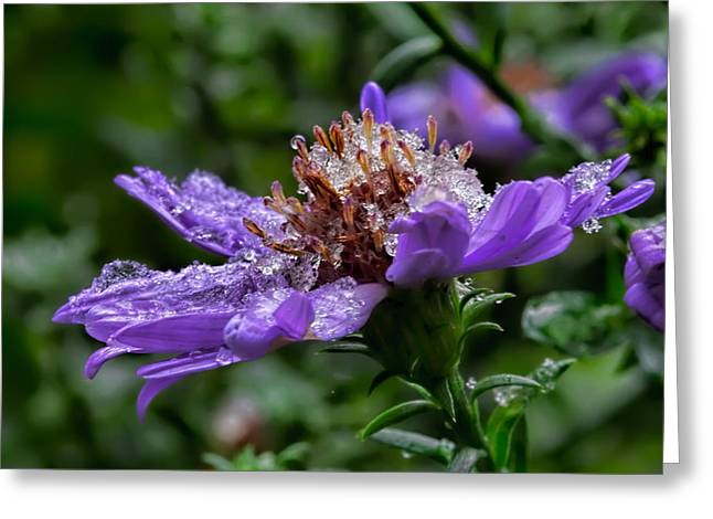 Green Day Greeting Cards - Aster in first snow fall- Greeting Card by Leif Sohlman