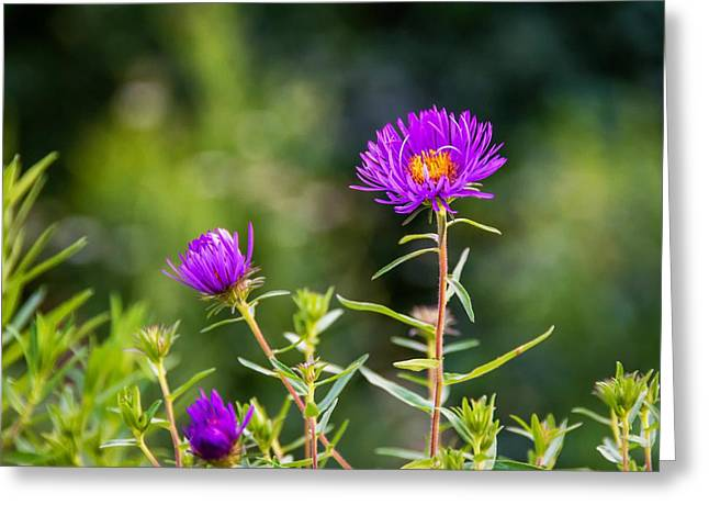 Asters Greeting Cards - Aster Greeting Card by Steve Harrington